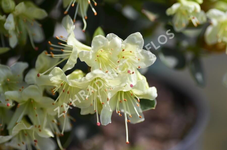 Pěnišník 'Shamrock' - Rhododendron (R) 'Shamrock'