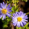 Hvězdnice - Aster turbinellus