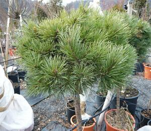 Borovice lesní 'Nana' - Pinus sylvestris 'Nana'