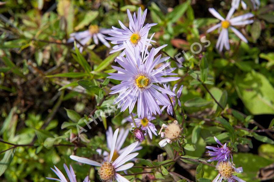 Hvězdnice pyrenejská 'Lutetia' - Aster pyrenaeus 'Lutetia'