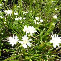 Hvězdnice bertrámová 'Major' - Aster ptarmicoides 'Major'