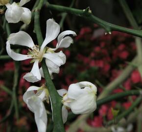 Citronečník trojlistý - Poncirus trifoliata