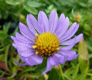 Hvězdnice 'October Sky' - Aster oblongifolius 'October Sky'