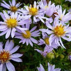 Hvězdnice vřesovcová 'Yvette Richardson' - Aster ericoides 'Yvette Richardson'