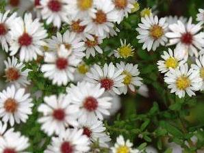 Hvězdnice vřesovcová 'White Heather' - Aster ericoides 'White Heather'