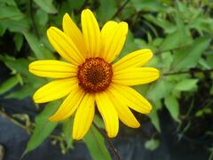 Janeba drsná 'Summer Nights' - Heliopsis helianthoides 'Summer Nights'