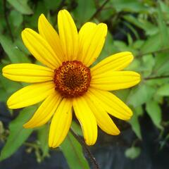 Janeba drsná 'Summer Nights' - Heliopsis helianthoides 'Summer Nights'