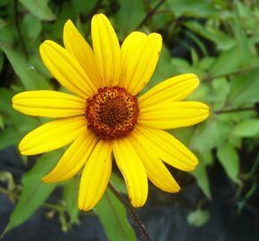 Janeba drsná 'Summer Nights' - Heliopsis helianthoides var. scabra 'Summer Nights'