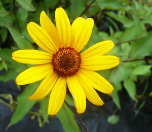 Jeneba drsná 'Summer Nights' - Heliopsis helianthoides 'Summer Nights'