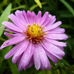 Hvězdnice novobelgická 'Rosa Perle' - Aster novi-belgii 'Rosa Perle'