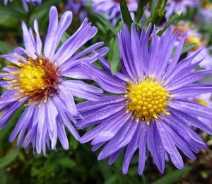Hvězdnice novobelgická 'Bonningdale Blue' - Aster novi-belgii 'Bonningdale Blue'