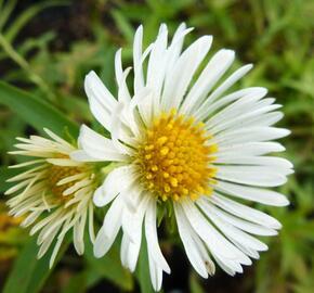 Hvězdnice novoanglická 'Herbstschnee' - Aster novae-angliae 'Herbstschnee'