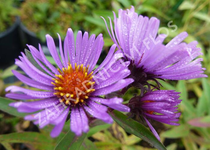 Hvězdnice novoanglická 'Herbstflieder' - Aster novae-angliae 'Herbstflieder'