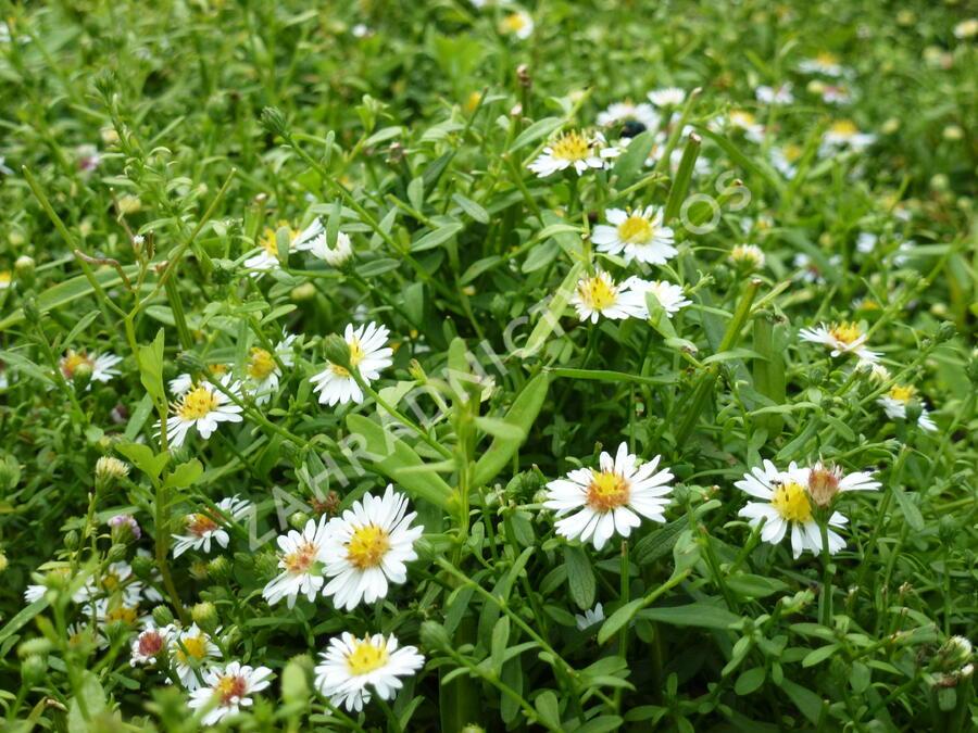 Hvězdnice vřesovcová 'Ulrike' - Aster ericoides 'Ulrike'