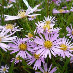 Hvězdnice vřesovcová  'Pink Star' - Aster ericoides 'Pink Star'