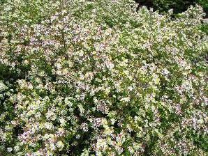 Hvězdnice vřesovcová 'Herbstmyrthe' - Aster ericoides 'Herbstmyrthe'