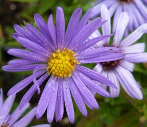 Hvězdnice keříčkovitá 'Lady in Blue' - Aster dumosus 'Lady in Blue'