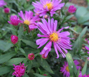 Hvězdnice keříčkovitá 'Kassel' - Aster dumosus 'Kassel'