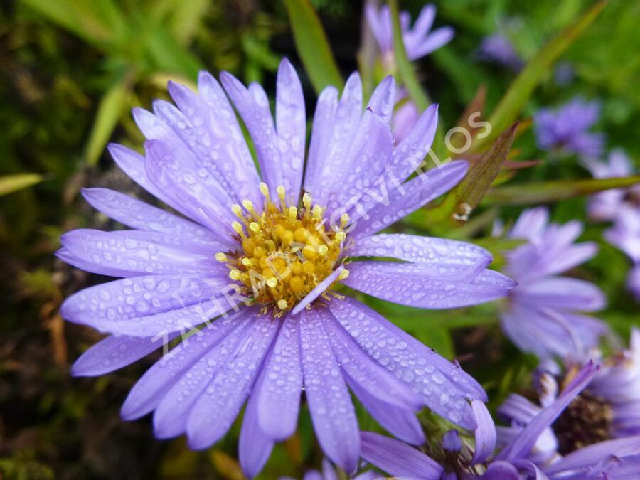 Hvězdnice keříčkovitá 'Herbstpurzel' - Aster dumosus 'Herbstpurzel'