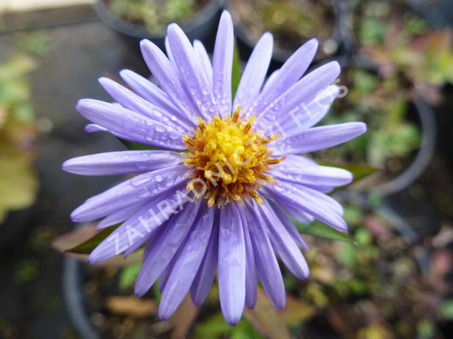 Hvězdnice keříčkovitá 'Herbstgruss von Bresserhof' - Aster dumosus 'Herbstgruss von Bresserhof'