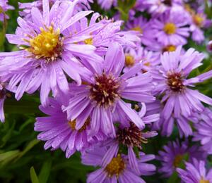 Hvězdnice keříčkovitá 'Diana' - Aster dumosus 'Diana'
