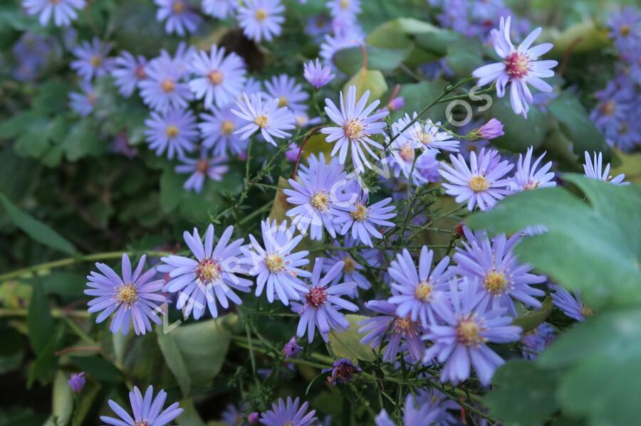Hvězdnice srdcolistá 'Little Carlow' - Aster cordifolius 'Little Carlow'