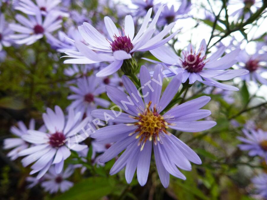 Hvězdnice srdcolistá 'Blue Heaven' - Aster cordifolius 'Blue Heaven'