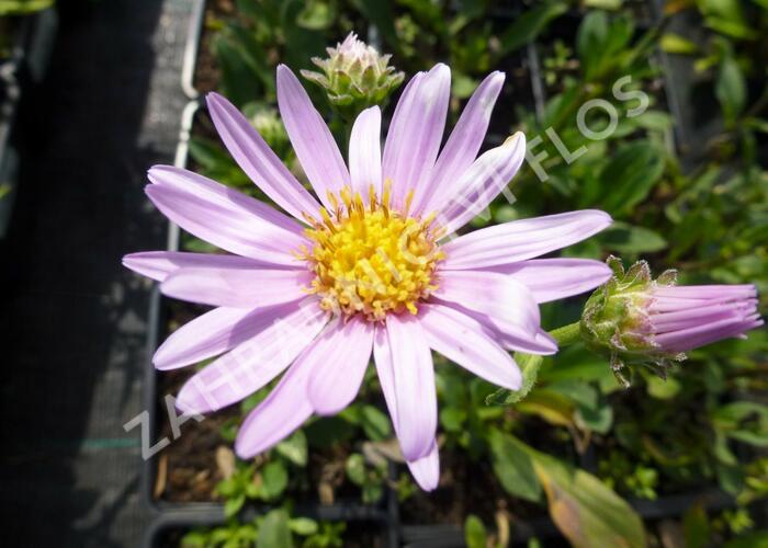 Hvězdnice chlumní 'Rosa Erfuellung' - Aster amellus 'Rosa Erfuellung'