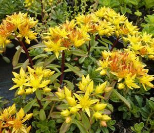 Rozchodník 'Weihenstephaner Gold' - Sedum floriferum 'Weihenstephaner Gold'