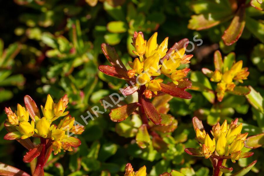 Rozchodník 'Weihenstephaner Gold' - Sedum floriferum 'Weihenstephaner Gold'