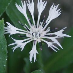 Chrpa horská 'Alba' - Centaurea montana 'Alba'