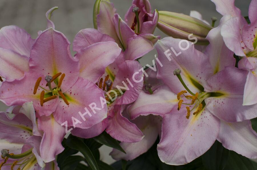 Lilie 'Oriental Pink' - Lilium 'Oriental Pink'
