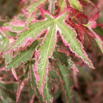 Javor dlanitolistý 'Taylor' - Acer palmatum 'Taylor'