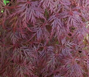 Javor dlanitolistý 'Orangeola' - Acer palmatum 'Orangeola'