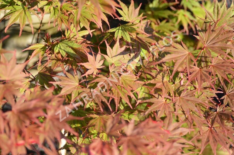Javor dlanitolistý 'Matsukagami' - Acer palmatum 'Matsukagami'