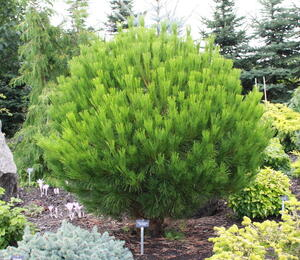 Borovice hustokvětá 'Globosa' - Pinus densiflora 'Globosa'