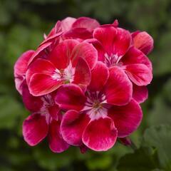 Muškát, pelargonie páskatá klasická 'Deep Rose with Eye Tango' - Pelargonium zonale 'Deep Rose with Eye Tango'