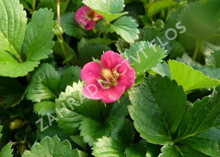 Jahodník stáleplodící 'Fragoo Pink' - Fragaria ananassa 'Fragoo Pink'