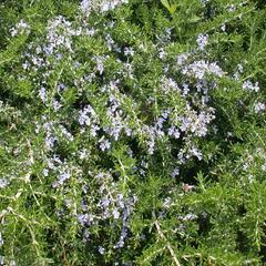 Rozmarýn lékařský 'Prostratus' - Rosmarinus officinalis 'Prostratus'