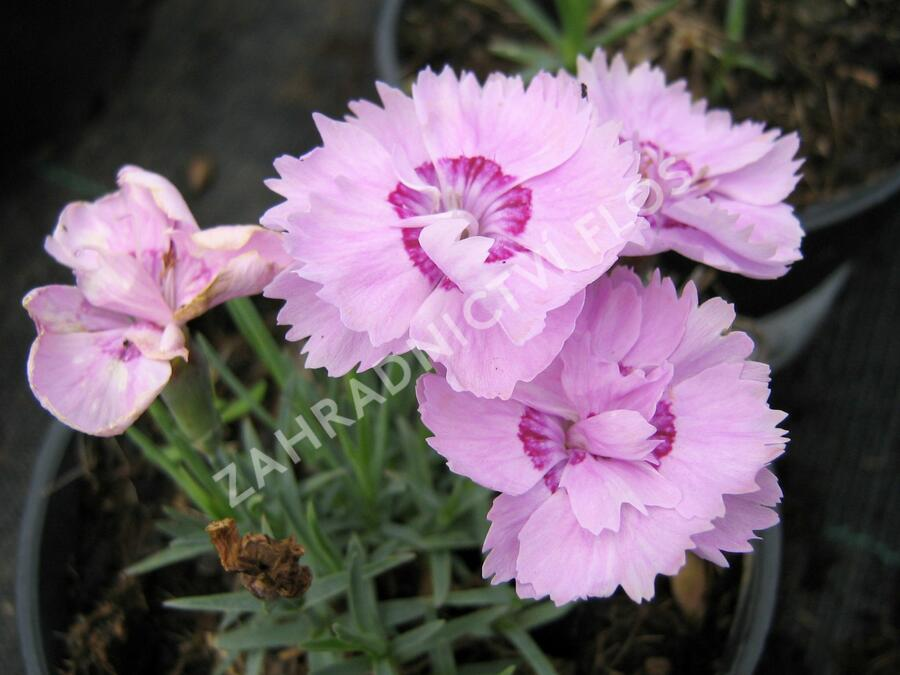 Hvozdík sivý - Dianthus gratianopolitanus