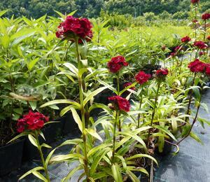 Hvozdík vousatý 'Messenger' - Dianthus barbatus 'Messenger'