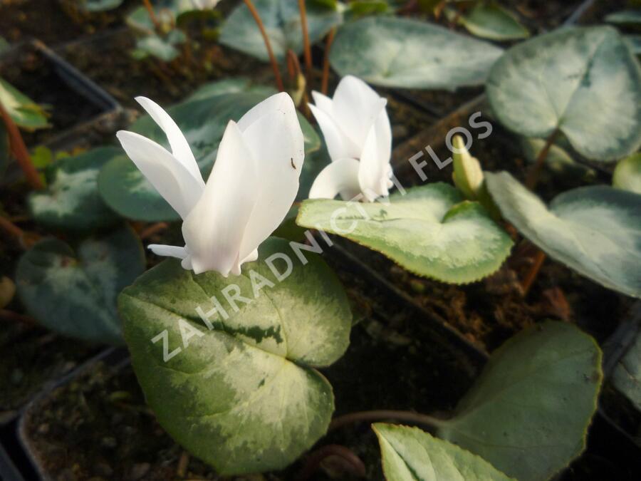 Brambořík břečťanolistý 'Silver Me White' - Cyclamen hederifolium 'Silver Me White'