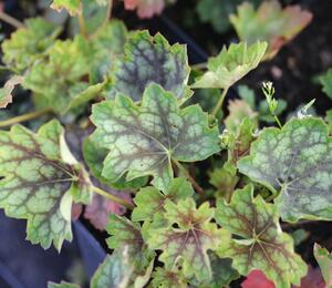 Dlužicha 'Green With Dark Vein' - Heuchera americana 'Green With Dark Vein'