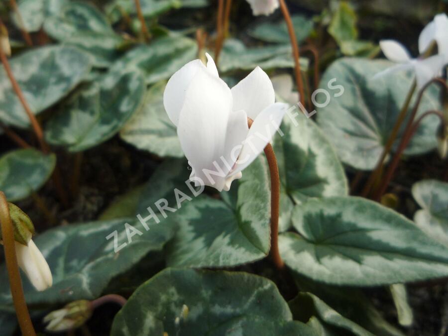 Brambořík břečťanolistý 'Amaze Me White' - Cyclamen hederifolium 'Amaze Me White'