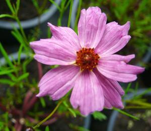 Krásnoočko 'Limerock Passion' - Coreopsis rosea 'Limerock Passion'