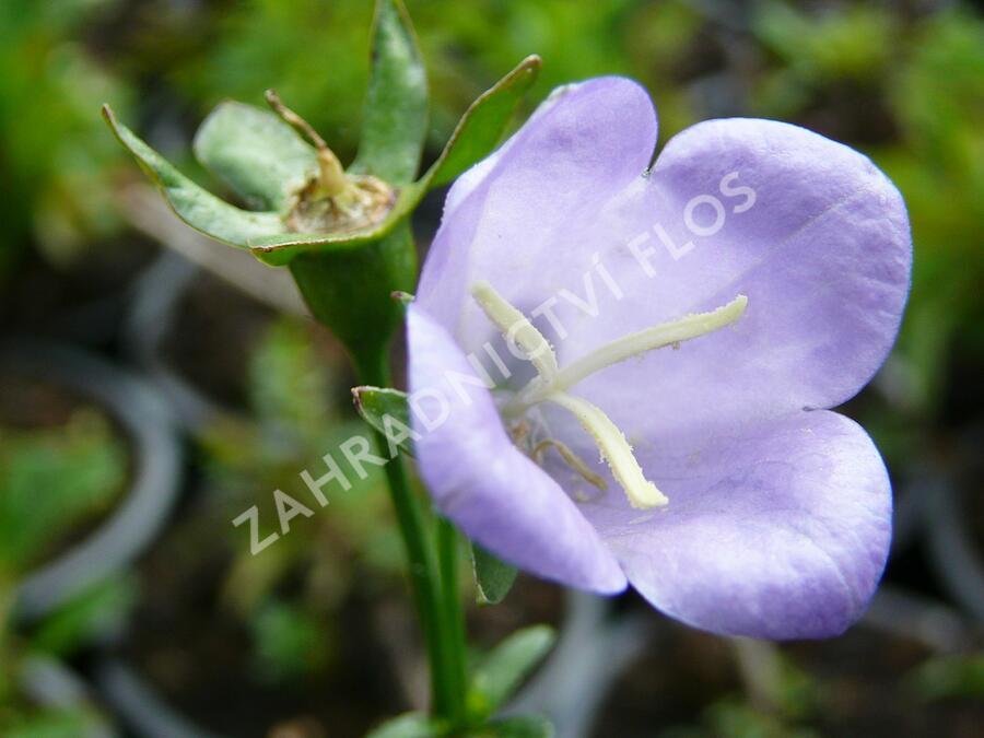 Zvonek broskvolistý 'Coerulea' - Campanula persicifolia 'Coerulea'