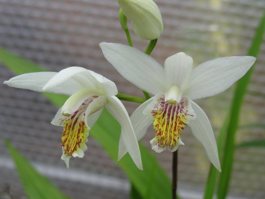 Orchidej vzpřímená 'Alba' - Bletilla striata 'Alba'