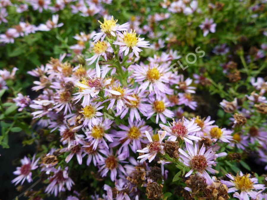 Hvězdnice 'Lovely' - Aster vimineus 'Lovely'