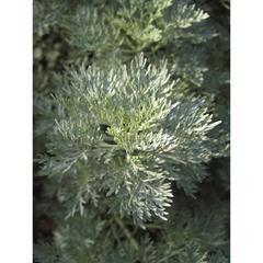 Pelyněk stromovitý 'Powis Castle' - Artemisia arborescens 'Powis Castle'