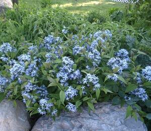 Modrá hvězda - Amsonia tabernaemontana